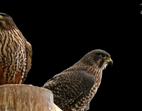 Mating New Zealand Falcon (Kārearea)