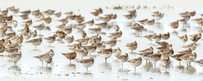 Bar-tailed Godwit Fine Art Print 01